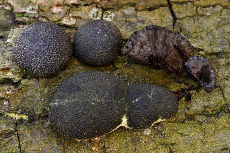 Annulohypoxylon Annulohypoxylon Mushroom Species The Santa Cruz Mycoflora Project
