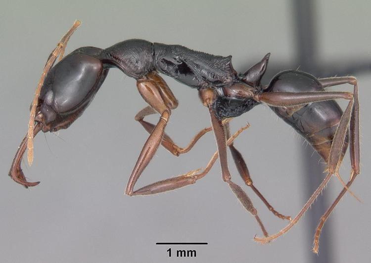 Anochetus boltoni