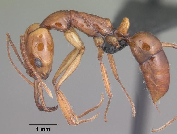 Anochetus goodmani