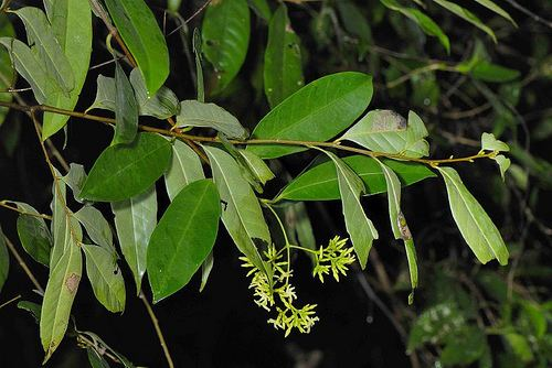 Anodendron Flickr photos tagged anodendron Picssr