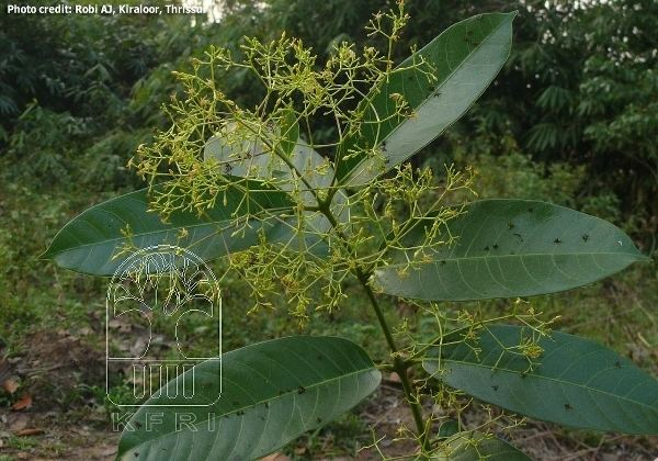 Anodendron Anodendron paniculatum APOCYNACEAE Kakkakodi