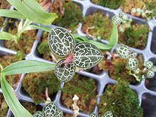Anoectochilus brevilabris httpsuploadwikimediaorgwikipediacommonsthu