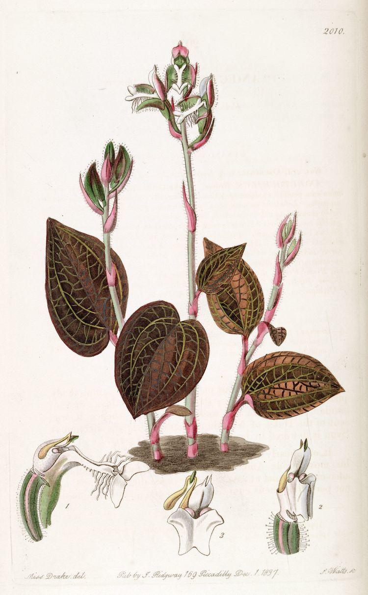 Anoectochilus setaceus Anoectochilus setaceus Wikiwand