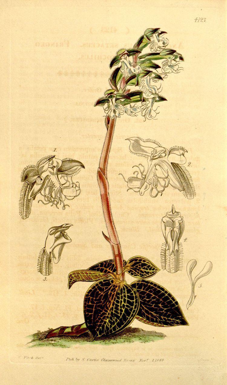 Anoectochilus setaceus Anoectochilus setaceus Wikipedia