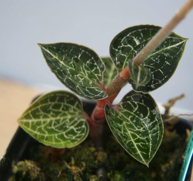 Anoectochilus setaceus wwworchidspeciescomorphotdiranoecsetaceusjpg