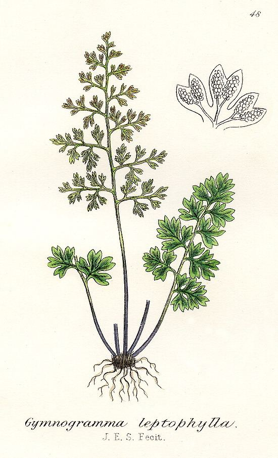 Anogramma leptophylla British ferns Anogramma leptophylla L Link