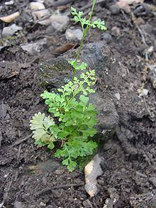 Anogramma leptophylla httpsuploadwikimediaorgwikipediacommonsthu