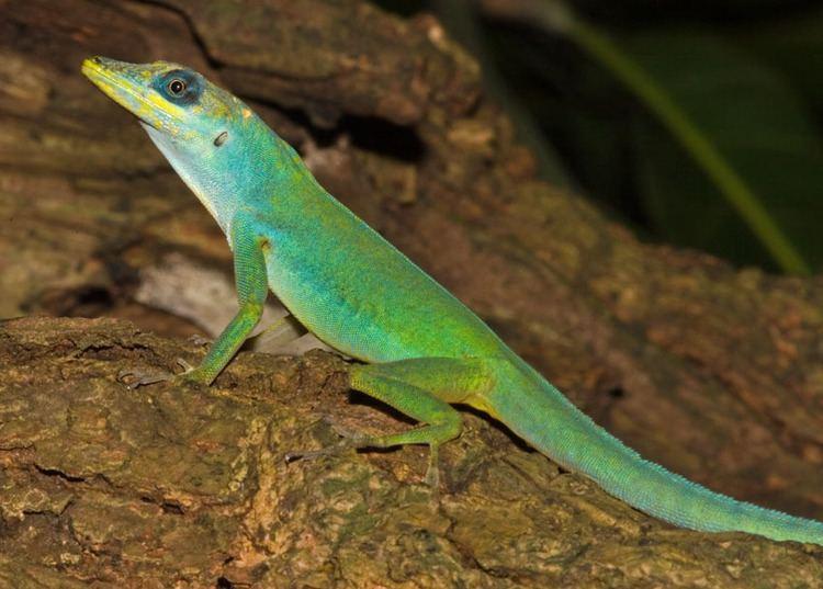 Anolis Anolis trinitatis The Reptile Database