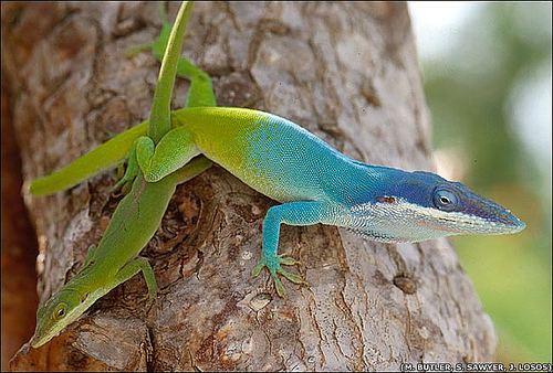 Anolis 1000 images about Anolis on Pinterest Entertaining Blue lizard