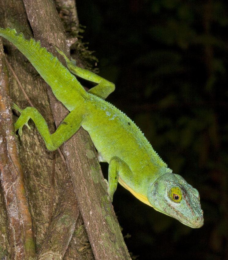 Anolis cuvieri Anolis cuvieri The Reptile Database