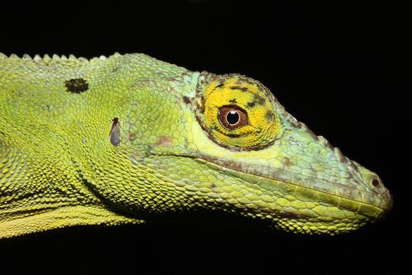 Anolis cuvieri Puerto Rico Wildlife Alfredo Coln Anolis cuvieri Anolis cuvieri
