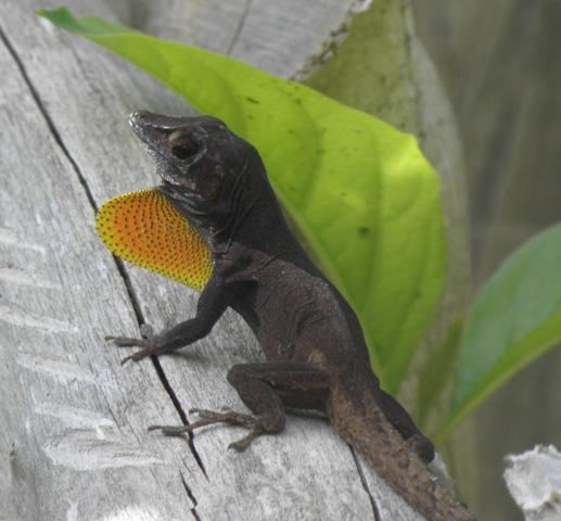 Anolis grahami Lizards The Department of Environment and Natural Resources