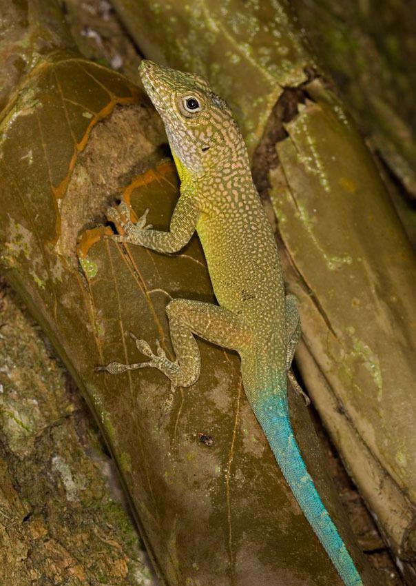 Anolis grahami Anolis grahami The Reptile Database