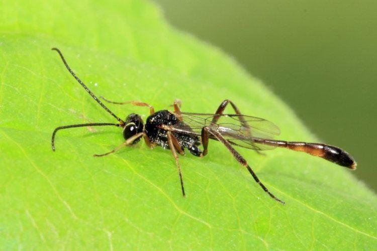Anomaloninae Anomalon sp Anomaloninae photo Stephen Luk photos at pbasecom