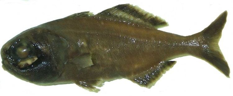 Anomalopidae Anomalopidae