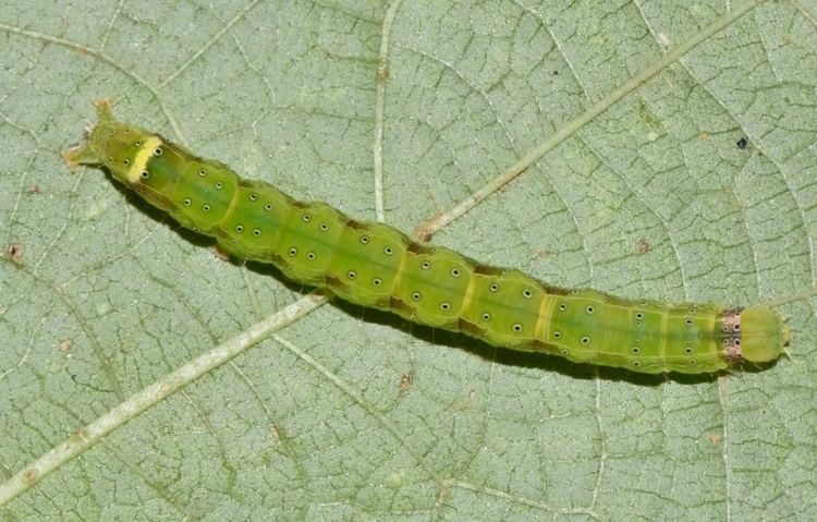 Anomis sabulifera Insect Pests