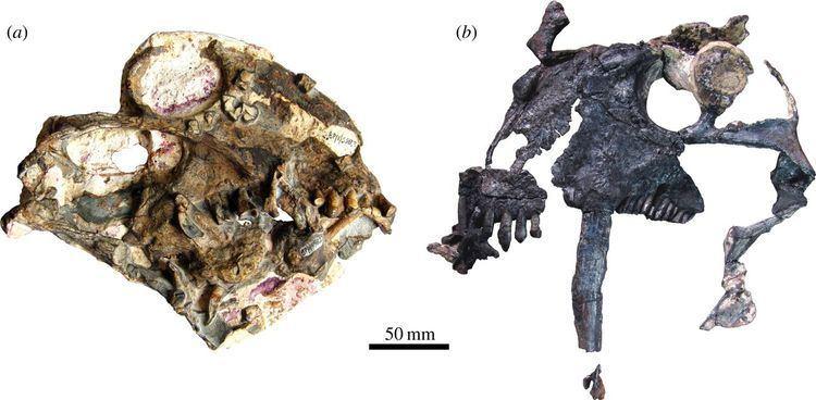 Anomocephalus Tiarajudens eccentricus and Anomocephalus africanus two bizarre