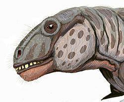 Anomocephalus httpsuploadwikimediaorgwikipediacommonsthu