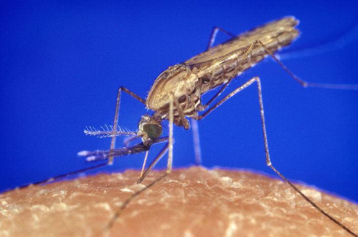 Anopheles gambiae Anopheles gambiae African malaria mosquito
