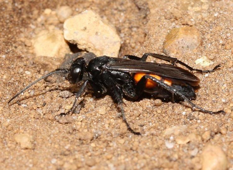 Anoplius Anoplius viaticus Linnaeus1758 BWARS