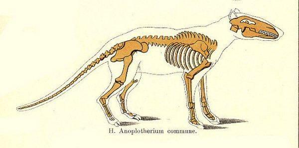 Anoplotherium Dinosaur Skeletal Reconstruction Prehistoric Animal Bones