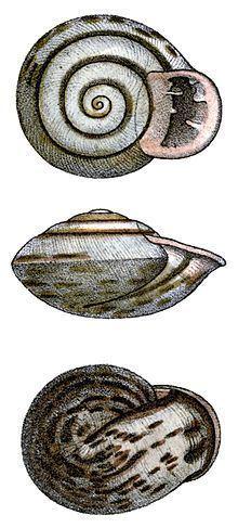 Anostoma depressum httpsuploadwikimediaorgwikipediacommonsthu