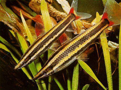 Anostomus anostomus Anostomus anostomus Colombia Aquarium SAS