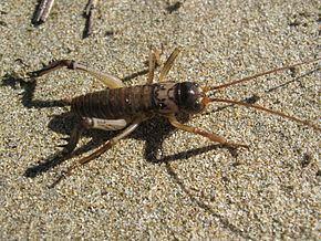 Anostostomatidae httpsuploadwikimediaorgwikipediacommonsthu