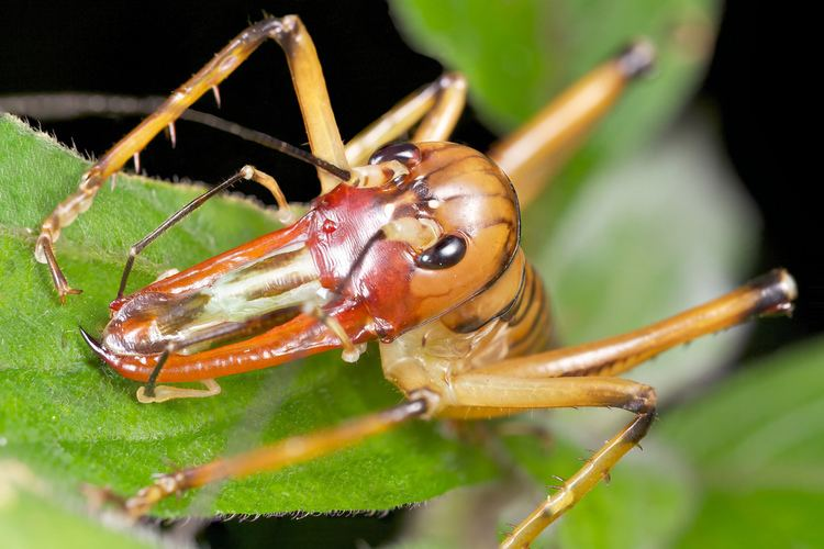Anostostomatidae Male king cricket Anostostomatidae The huge jaws are use Flickr