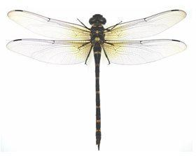 Anotogaster sieboldii Dragonfly Anotogaster sieboldii