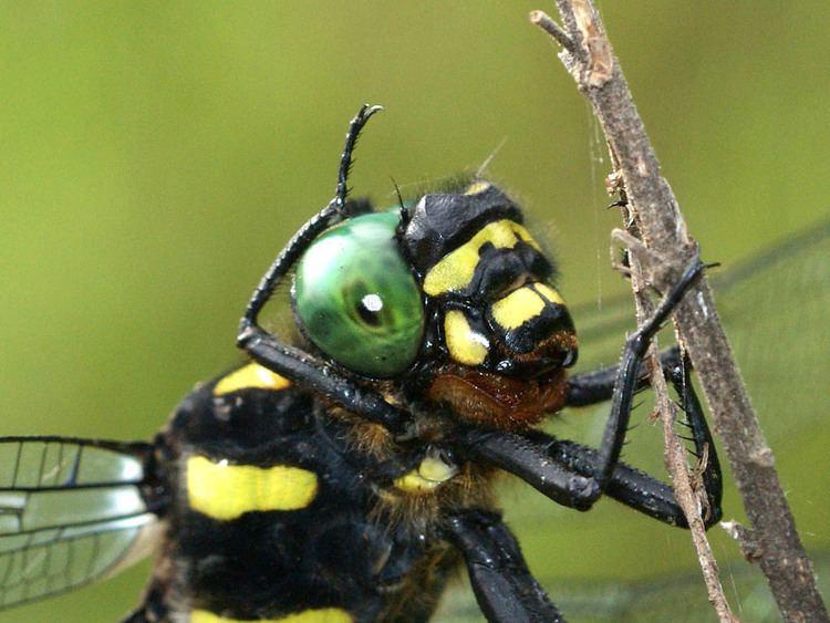 Anotogaster sieboldii NaturalJapannet Dragonfly Anotogaster sieboldii