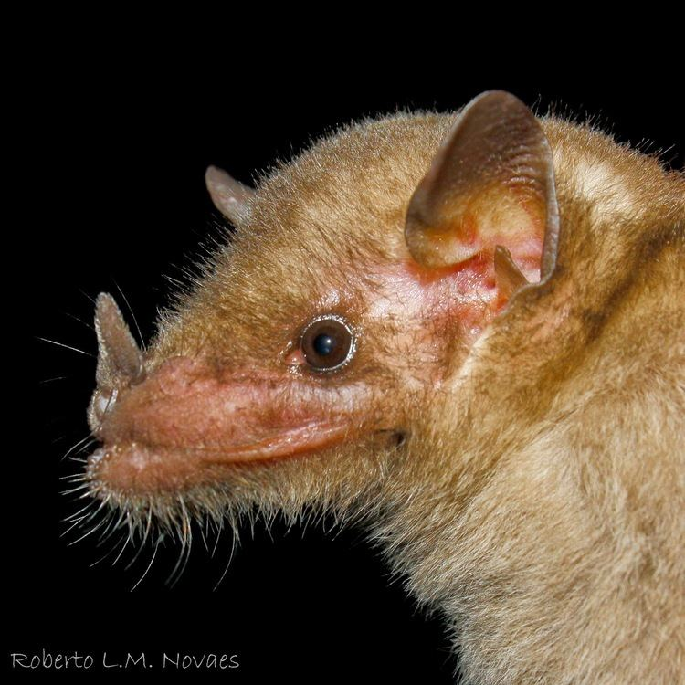 Anoura Morcegos do Brasil Anoura geoffroyi
