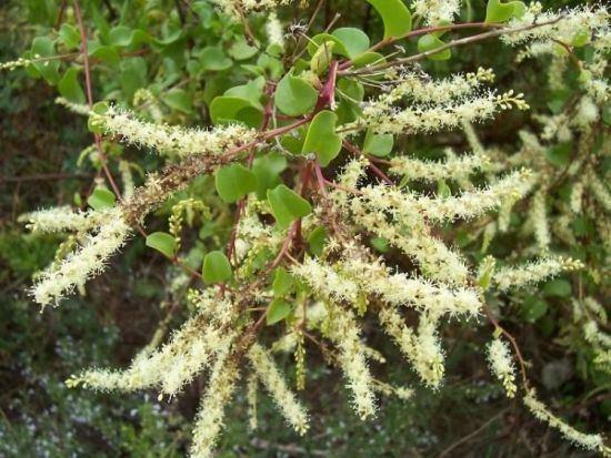 Anredera Madeira vine 74608 common name Anredera cordifolia