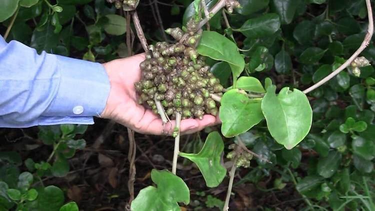Anredera REMOVE MADEIRA VINE Anredera cordifolia PITTWATER ECOWARRIORS 3