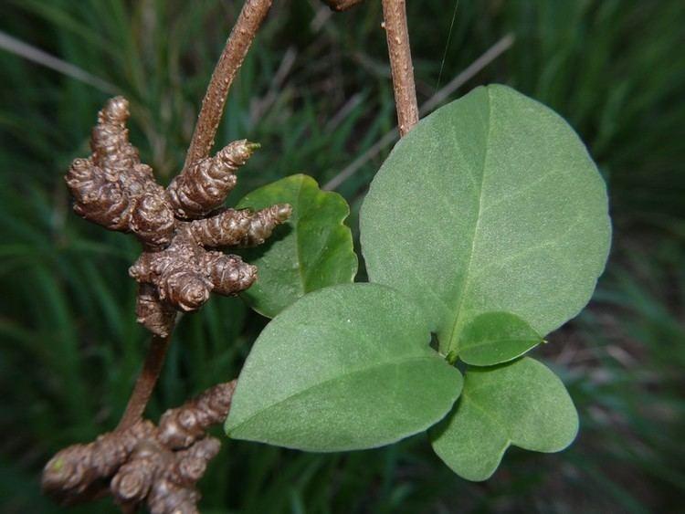 Anredera Anredera cordifolia Leaves SAPtnjpg