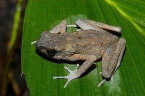 Ansonia (genus) httpsuploadwikimediaorgwikipediacommonsthu