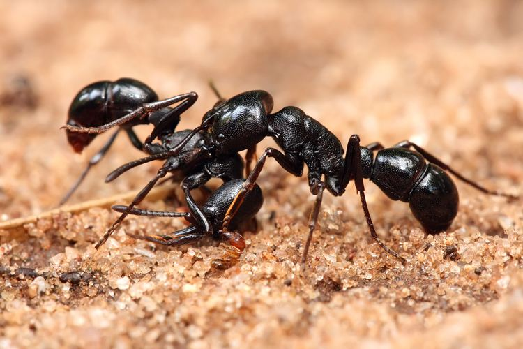 Ant Ant Wikipedia