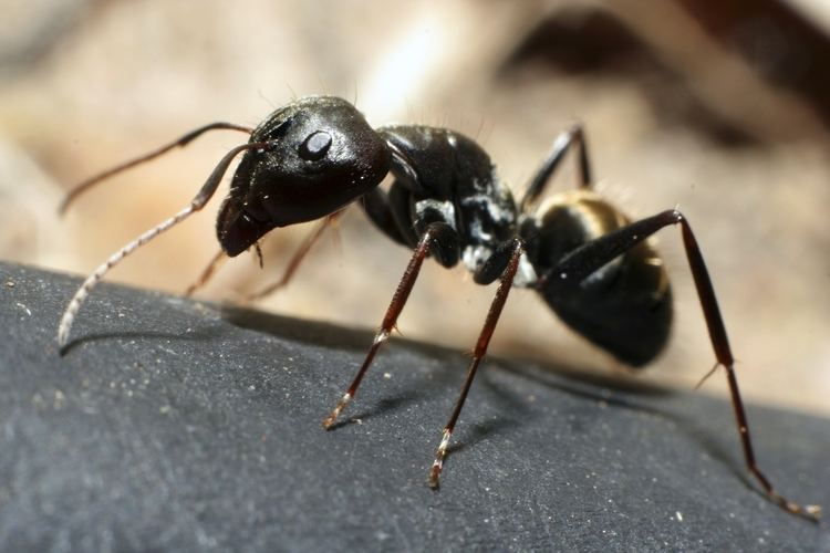 Ant Ants Facts About Ants Types of Ants PestWorldforKidsorg