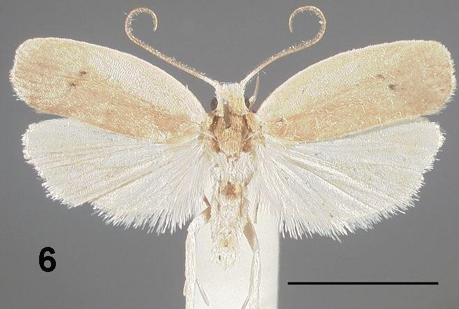 Antaeotricha osseella