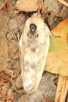 Antaeotricha schlaegeri httpsuploadwikimediaorgwikipediacommonsthu