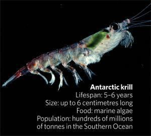 Antarctic krill Ecologists fear Antarctic krill crisis Nature News