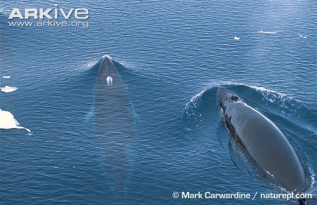 Antarctic minke whale Antarctic minke whale photo Balaenoptera bonaerensis G43742 ARKive