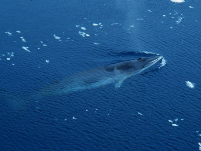 Antarctic minke whale imagesmarinespeciesorgresized5189antarcticmi