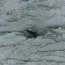 Antarctic minke whale Antarctic minke whale Wikipedia