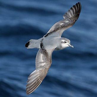 Antarctic prion wwwbiodiversityexplorerorgbirdsprocellariidae