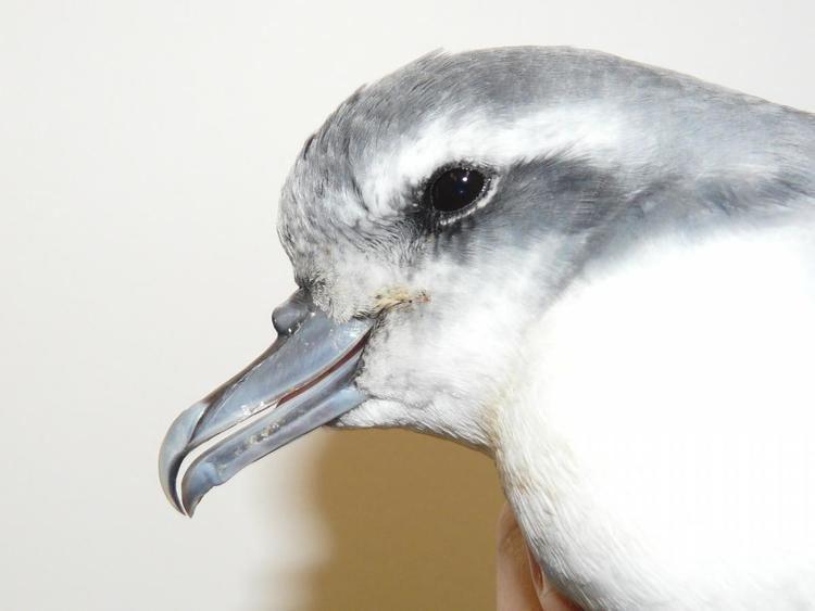 Antarctic prion Antarctic prion New Zealand Birds Online