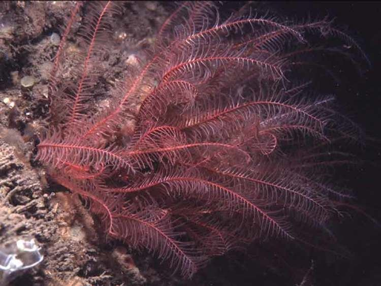 Antedon bifida MarLIN The Marine Life Information Network Rosy featherstar