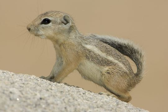Antelope squirrel photographs by Mark Chappell