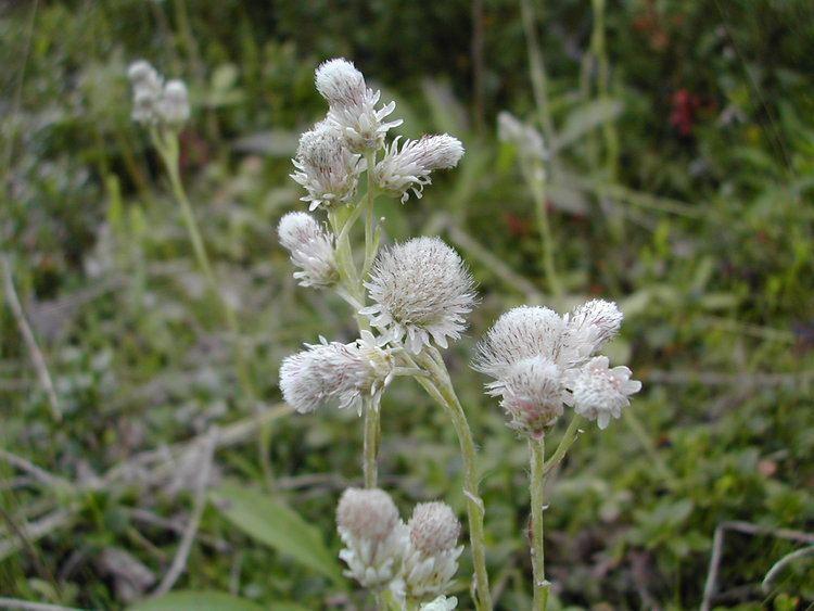 Antennaria alpina httpsuploadwikimediaorgwikipediacommons77