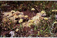 Antennaria corymbosa httpsuploadwikimediaorgwikipediacommonsthu